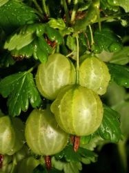 """In Britain, Gooseberry bushes are often found in copses, hedgerows & about old ruins. The gooseberry has been cultivated for centuries. In the 16th century it was used for medicinal purposes & was believed to reduce fever. It was recommended to plague victims. The gooseberry grew in popularity as a cooking ingredient in desserts, sauces, wines & jellies. Gooseberry fool is still one of the most popular gooseberry recipes in the UK. To """"play gooseberry"""" means to be an unwanted third person."""