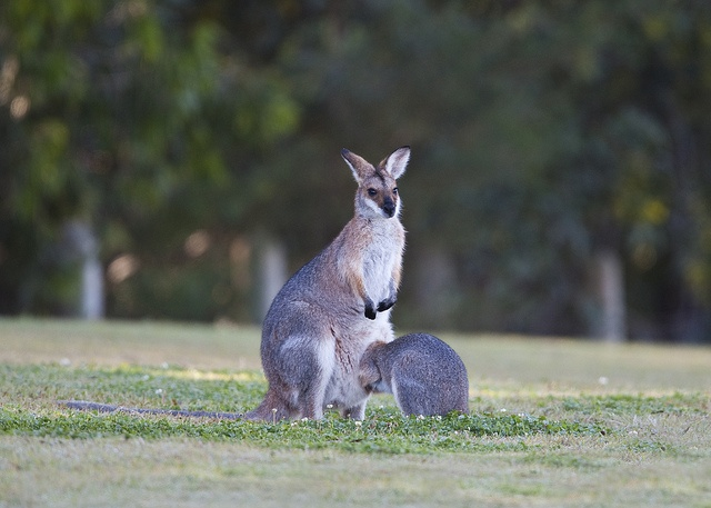 Red-necked Wallaby by Greg Miles