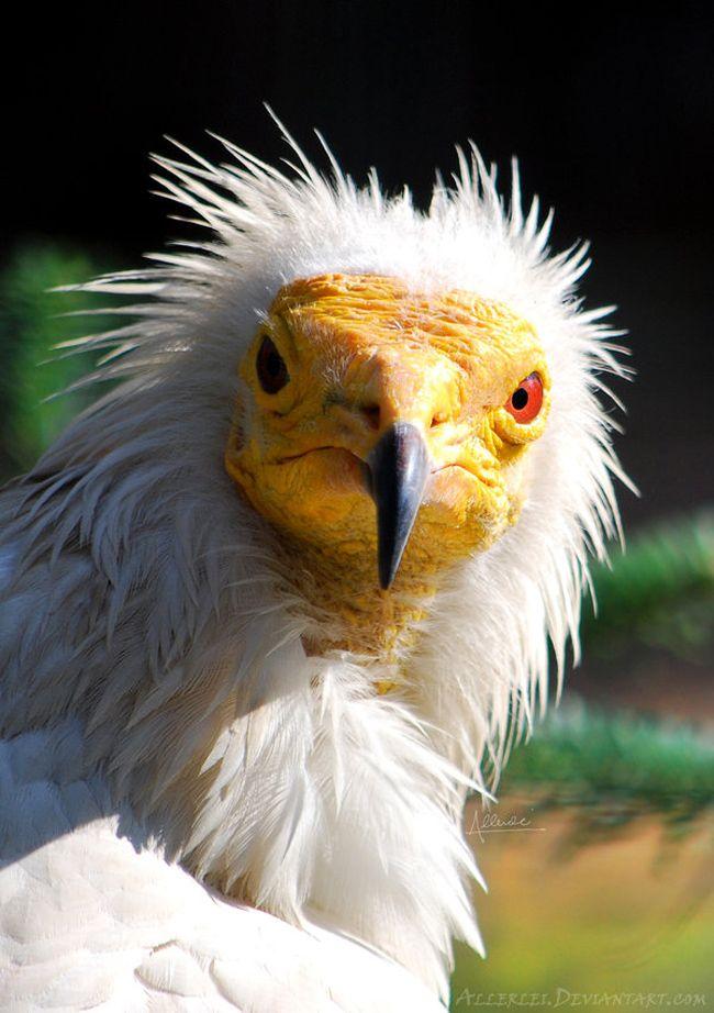 Egyptian vulture by Allerlei