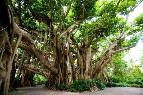 Banyan Tree: Legoland Florida, Design Inspiration, Incr Photo, Banyan Trees, Natural Photography, Beautiful Places, Cypress Gardens, Cypress Trees, Charleston South Carolina
