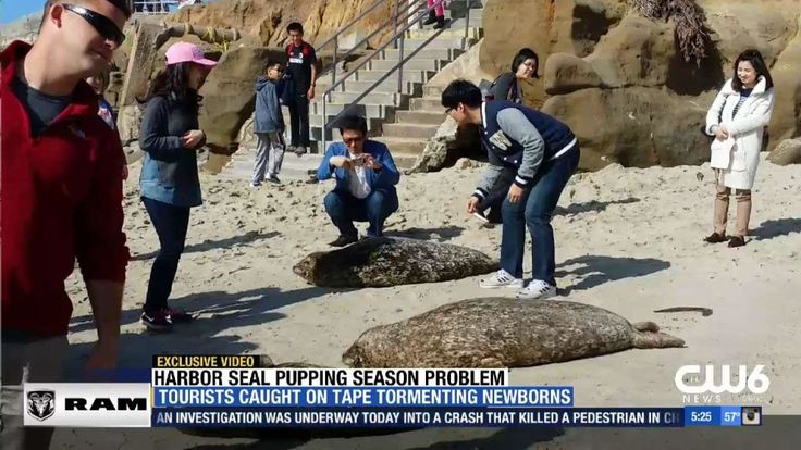 SAN DIEGO -- People from out of town are deliberately touching the seals and in some cases, terrifying them. CW6 caught exclusive video of baby seals and their mothers being harassed by spring breakers along our coast. It's pupping season along the Pacific coastline, where expectant Harbor Seals leave…