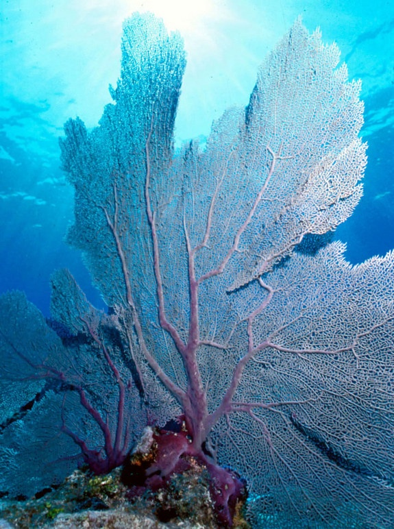 Soft corals [Credit: Larry Zettwoch] In addition to the hard corals, there are a variety of soft corals like this common sea fan (Gorgonia ventalina). The calcium carbonate skeleton of soft corals is located within their bodies, allowing them to move with the wave action. Sea fans typically grow so that the wave action is moving over the broad plane of their bodies, so all of the sea fans in an area will be oriented in the same direction.