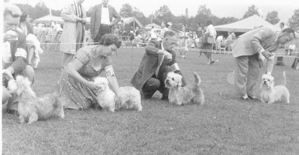 Dandie Dinmont Terrier show 1955.