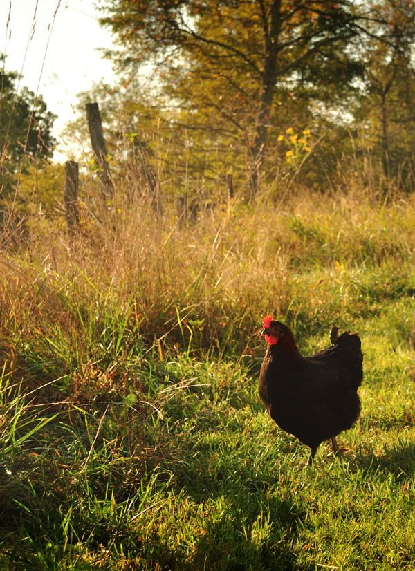 A chicken strolling in the yard