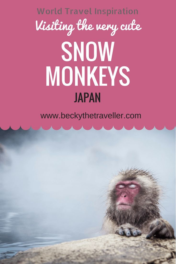 The Jigokudani Monkey Park in Japan is a very popular tourist attraction in the town of Yamanouchi. But the perfect place to see the famous snow monkeys in Japan.