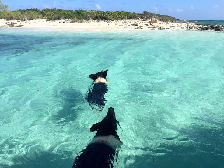 How to visit Pig Island in the Bahamas