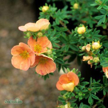 Potentilla fruticosa 'Daydawn'| Splendor Plant