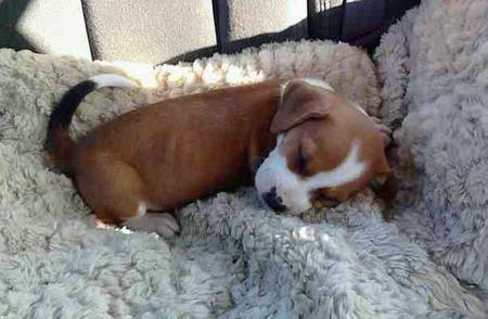 Beagle Beagle mix puppies, Beagle mix, Beagle puppy