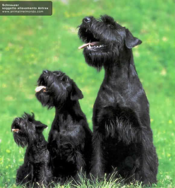 Mini Schnauzer, Standard, and Giant.