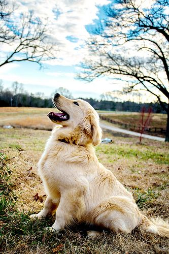 Golden retriever.  If I were to ever get a generic big dog. I would prolly get one of these but it has to look perfect!  Not Lanky like some do.