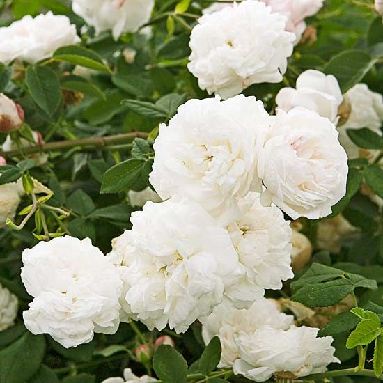 Madame Plantier  Bred in 1835, this rose has withstood the test of time. One look (and sniff) at it and you'll see why -- the pure-white flowers are packed with petals and a sweet fragrance.