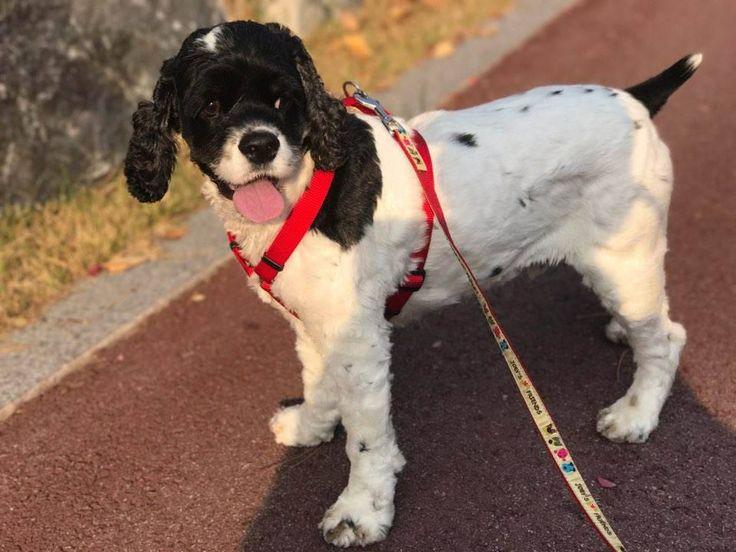 Cocker Spaniel dog for Adoption in Bellevue, WA. ADN-710765 on PuppyFinder.com Gender: Male. Age: Adult
