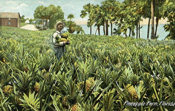 A Pineapple Farm in Florida | ClipPix ETC: Educational Photos for ...