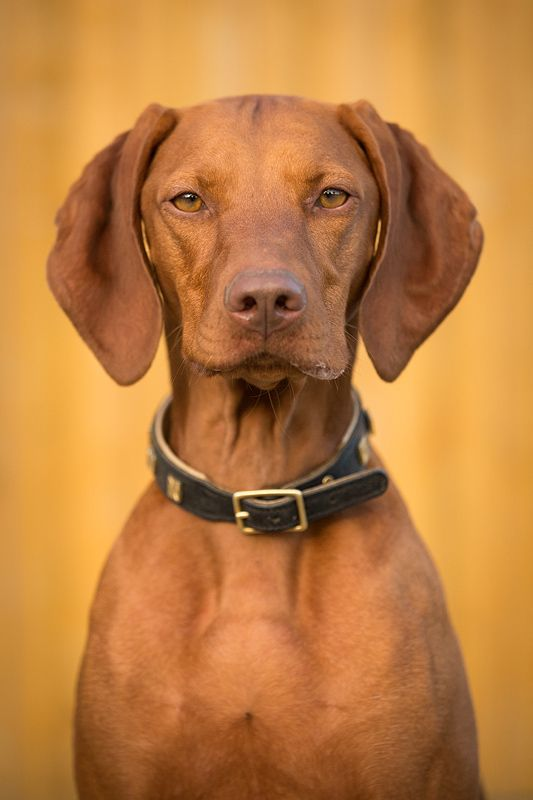 """Originally from Hungary, the Vizsla is a medium-sized, short-coated hunting dog that is essentially Pointer in type, although he combines characteristics of both pointer and retriever. An attractive golden rust in color, this """"dual"""" dog is popular in both the field and the show ring due to his power and drive while hunting and his trainability in the home."""