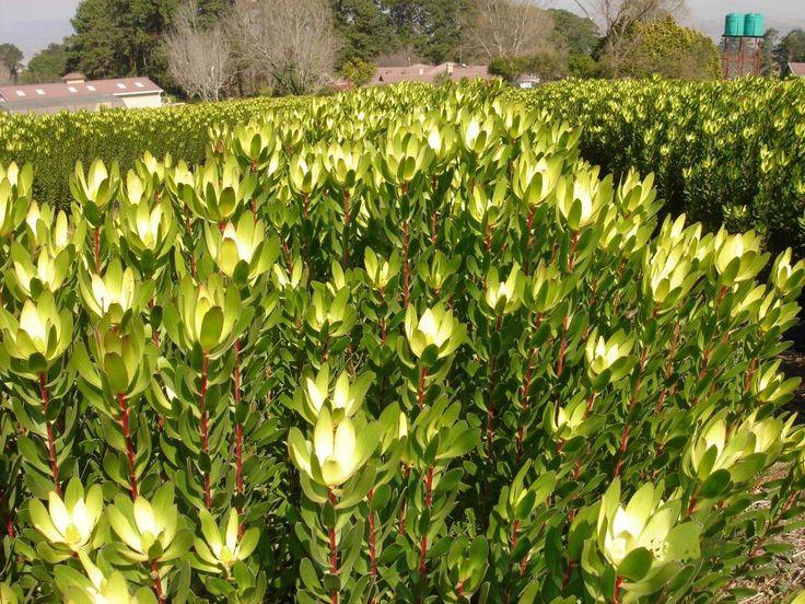 safari goldstrike hello hello plants garden supplies