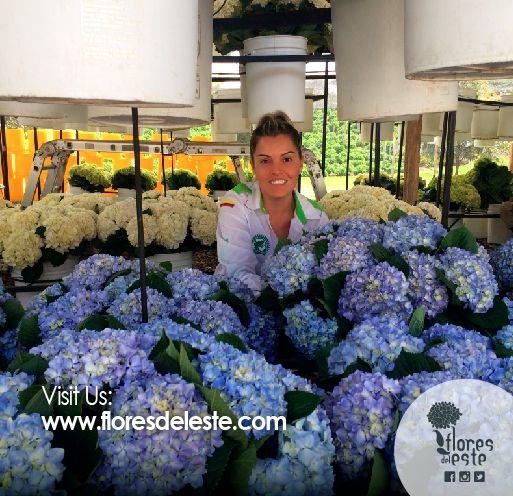 Visit us www.floresdeleste.com  #hydrangeas #flowers #shine #pink #homedeco #springflowers