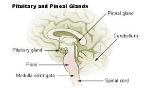Why the Pituitary Is Called the Master Gland: The pituitary gland is a small endocrine system organ that controls a multitude of important functions in the body.