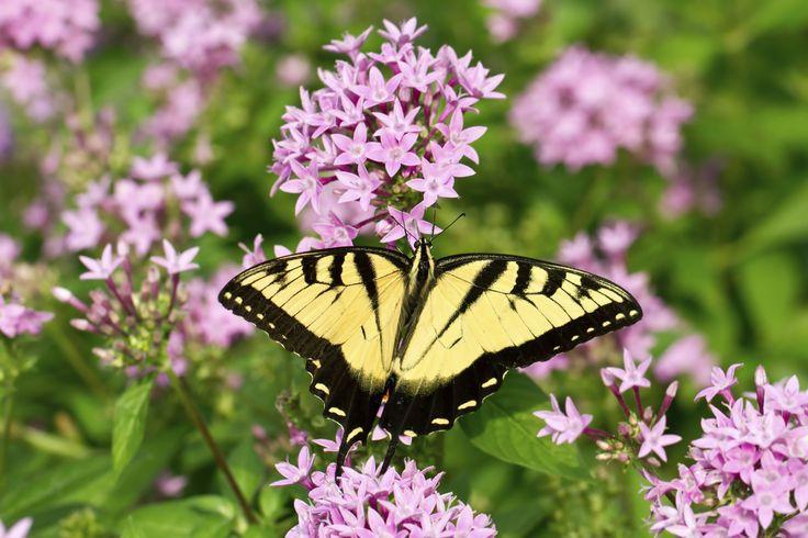 Come coltivare la buddleia, l'albero delle farfalle che saprà donarci un giardino fiorito, profumato e naturalmente invaso da coloratissime farfalle.