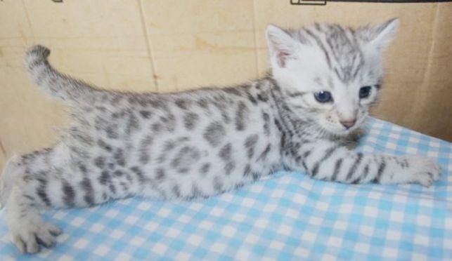 Pure Persian Male Ginger Kitten For Adoption 2 Month Old N Mandai Male Kittens For Adoption Kitte With Images Kitten Adoption Ginger Kitten Ragdoll Kittens For Sale