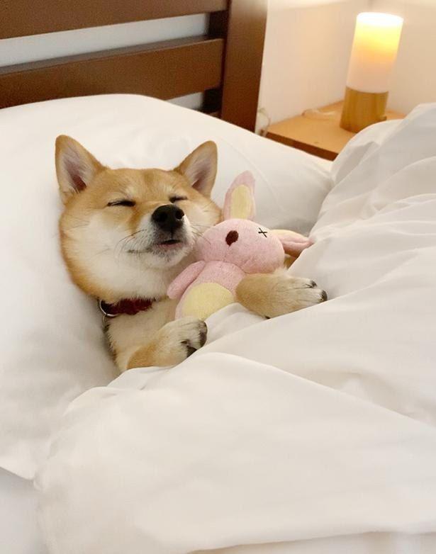 画像2 36 癒やし効果抜群 10万人超のファンを魅了する 豆柴 はなちゃんの 寝姿コレクション ウォーカープラス 秋田犬 柴犬 可愛い おかしな動物