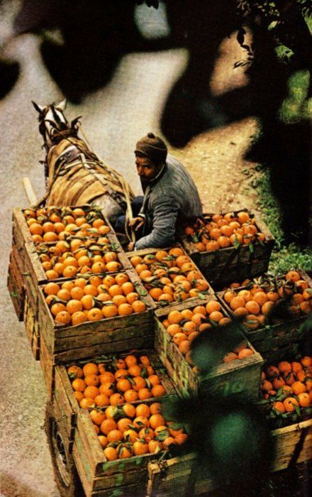 Oranges travelling by horse cart from a cooperative orchard to El Asnam, Algeria. August, 1973