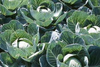 Hemera Technologies/AbleStock.com/Getty . Natural remedies for cabbage worm. They also eat kale, All of it!