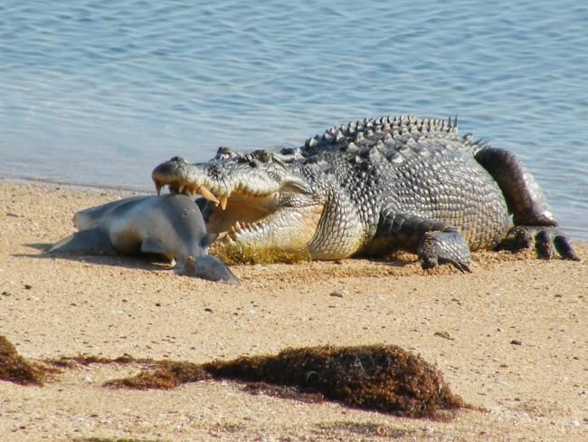 A crocodile eats a shark after stealing it from a fisherman at the Cobourg Peninsula, NT, Australia
