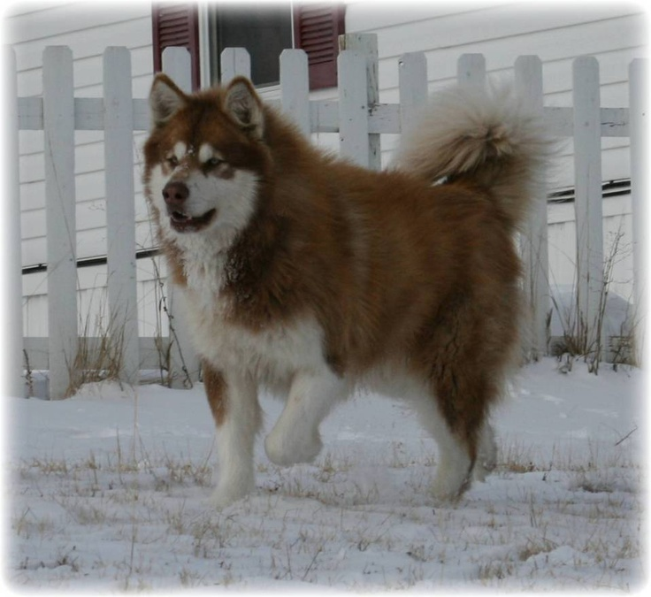 Red Giant Alaskan Malamute | Animalize | Pinterest | Red ...