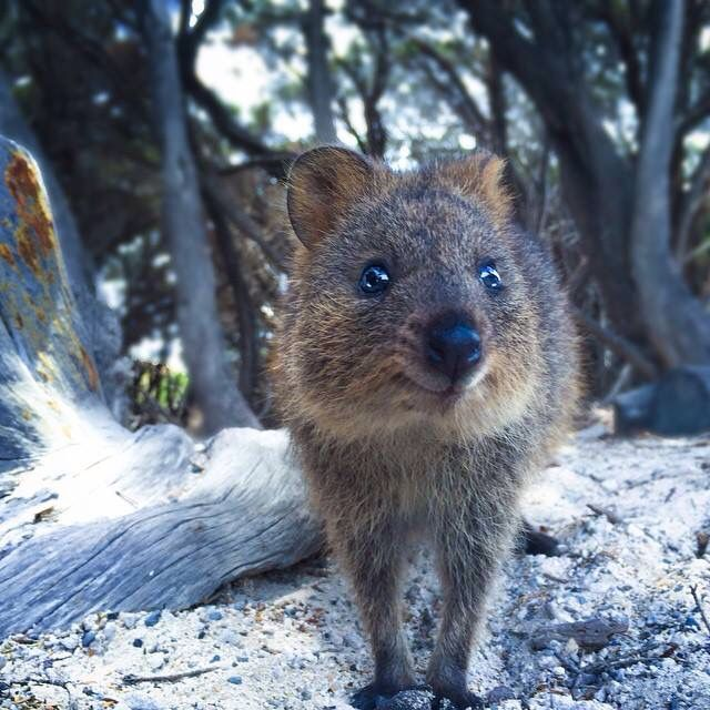 Best Quokkas Images On Pinterest Adorable Animals Baby - 15 photos that prove quokkas are the happiest animals in the world
