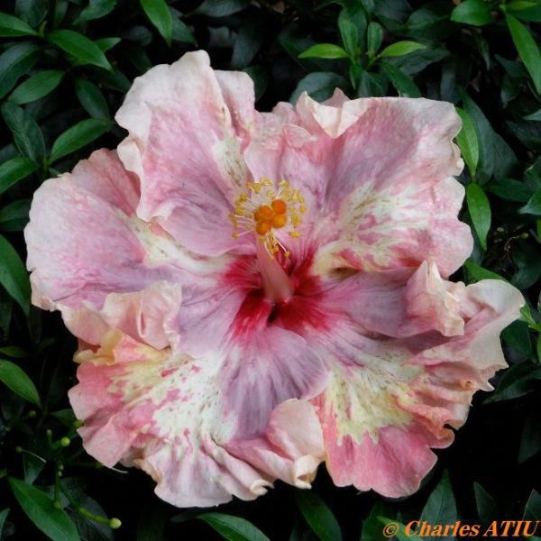 Hibiscus Flower And Their Parts Hibiscus With Images Hibiscus Hibiscus Flowers Hibiscus Rosa Sinensis