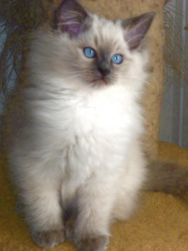 ragdoll cat breeders | Cute Cats Pictures