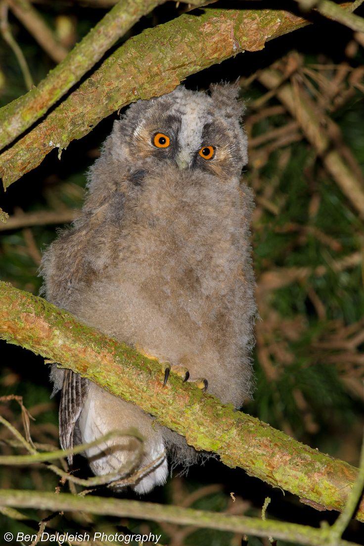 Long-eared Owl, Asio otus