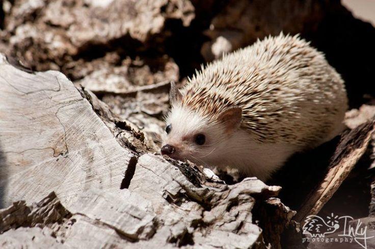 Inky the Hedgehog II by inkyphotography on deviantART