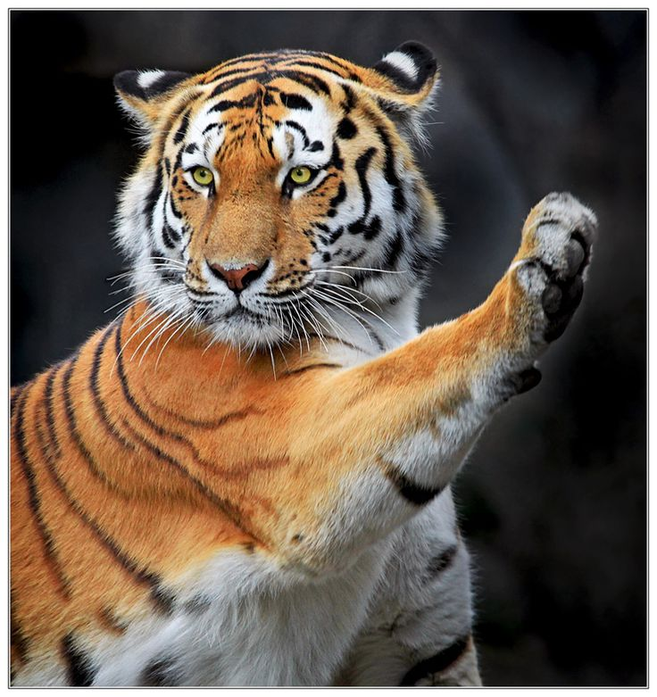 500px / I swear ..... by Klaus Wiese...Cute pose for this Amur Tiger, aka Siberian Tiger
