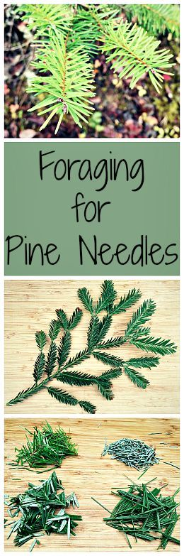 Easy to forage for in the winter and makes a tasty medicinal tea!: