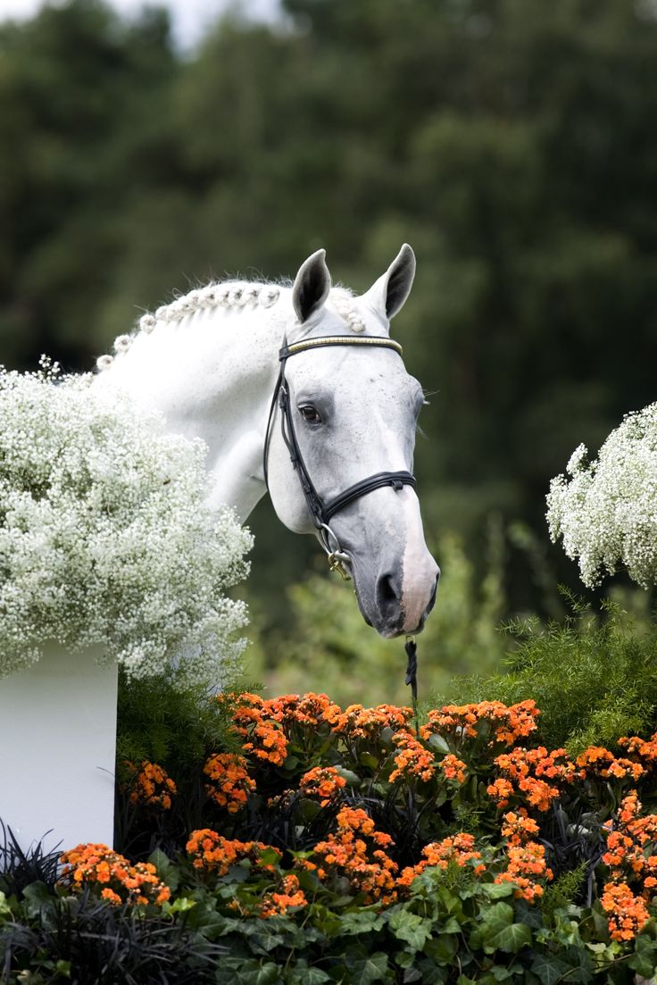 Berlin (formerly Caspar) Proven in Sport, Proven in Breeding! Jumps to WBFSH #15 Show Jumping Sire in 2016! €1800 + 13.5% VAT Live foal guarantee with €1500 + VAT refunded for certified non-pregnancy Frozen semen available with our network of vets