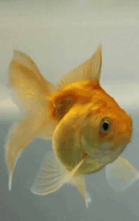 Золотая рыбка картинки анимашки, картинки про