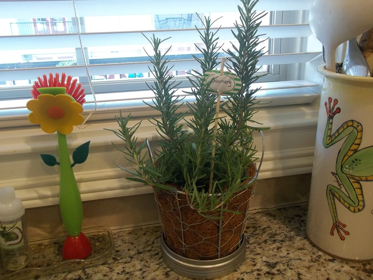 1000 images about rosemary on pinterest planters herbs garden and infused olive oils Olive garden citrus heights ca