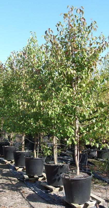 Ornamental Pear Pyrus ussuriensis - Manchurian Pear Tree