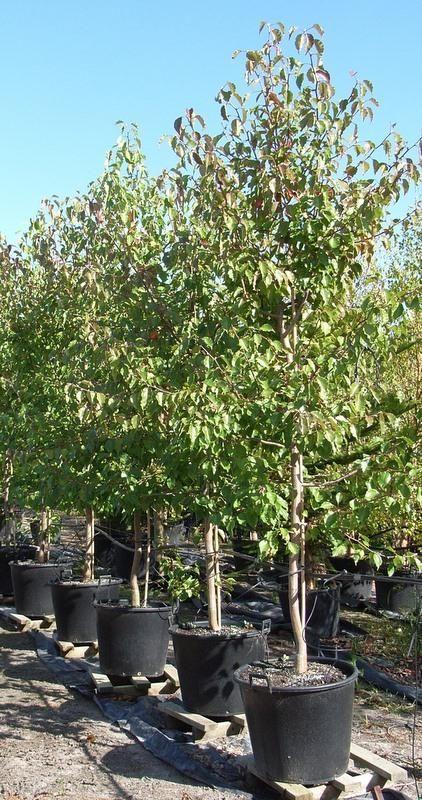 Ornamental Pear Pyrus Ussuriensis Manchurian Pear Tree