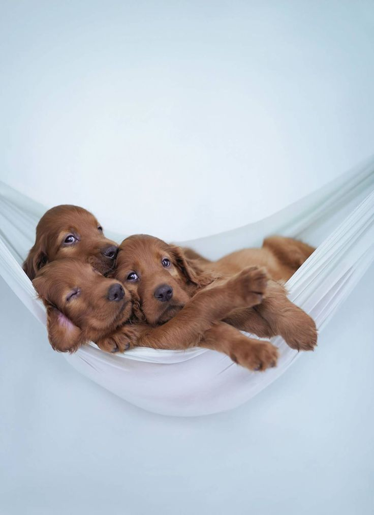 Just hanging around...Irish setter puppies