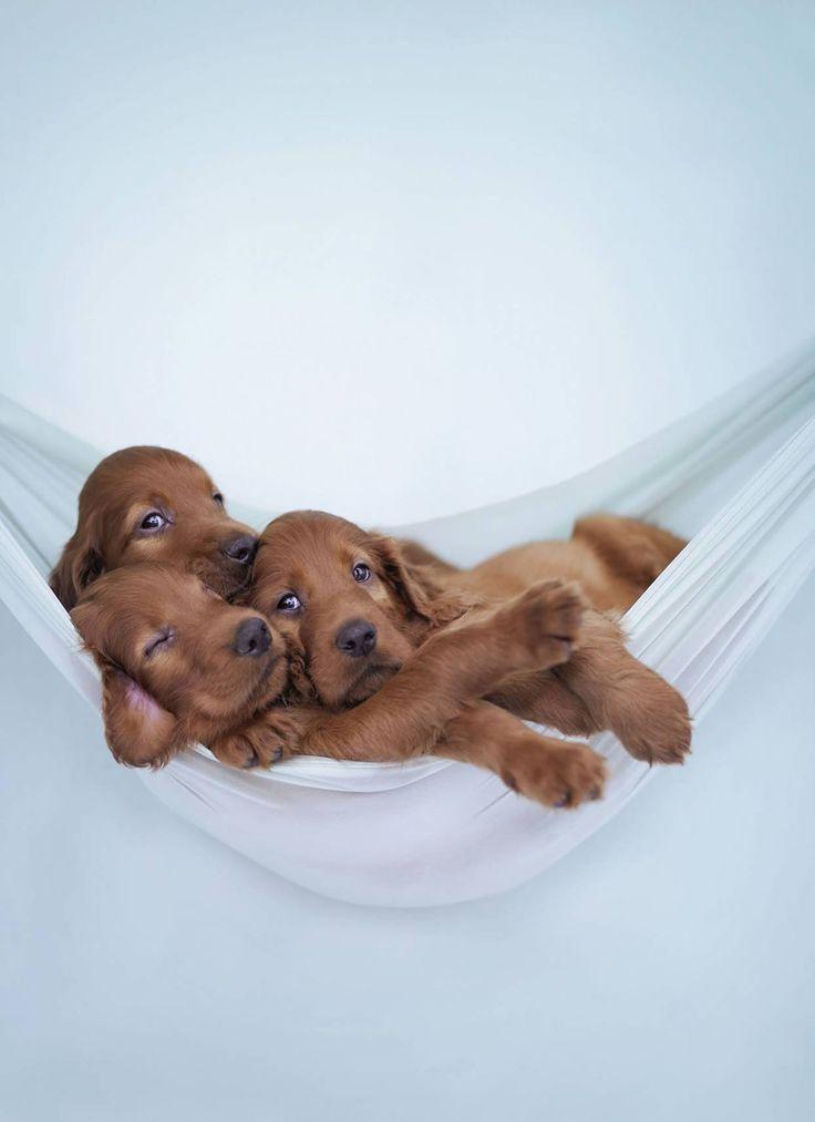 Just hanging around...Irish setter puppies