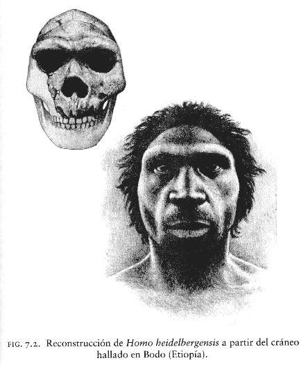 HOMO HEIDELBERGENSIS: Surgió hace más de 500,000 años y perduró al menos hasta hace 250,000 años en Europa y África. Eran individuos altos y muy fuertes, de grandes cráneos (1.350 cm³) y muy aplanados con relación a los del hombre actual, con mandíbulas salientes. Es un antepasado directo del Hombre de Neandertal en Europa; no fueron antepasados directos de los Homo sapiens modernos.