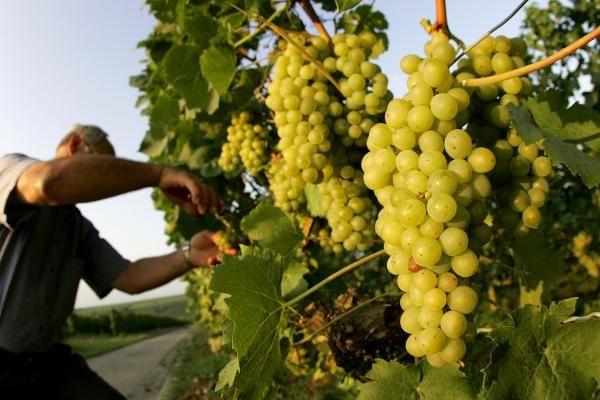 Если периодически осматривать виноградную лозу, то многих проблем удастся избежать. Запомните несколько простых правил, соблюдая которые вы получите виноград отличного качества. Правило первое — следи…