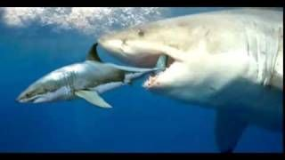 The biggest shark to have EVER lived, is the Megalodon, a giant prehistoric shark and a legendary killer. Description from megalodon-shark-videos-on-youtube.clinic007.com. I searched for this on bing.com/images