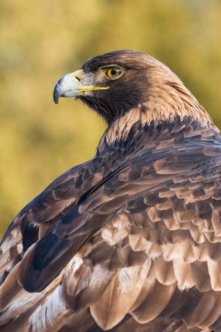 Aigle royal - Zoo Ecomuseum
