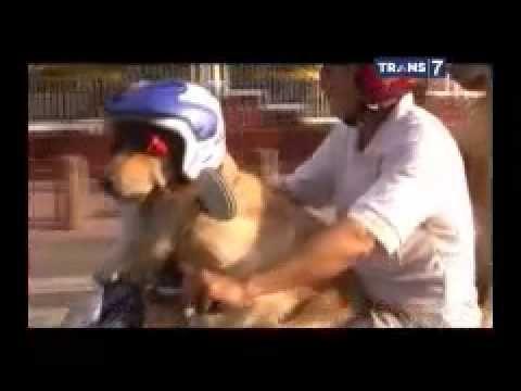 Video lucu anjing dibonceng naik sepeda motor pakai helm - YouTube