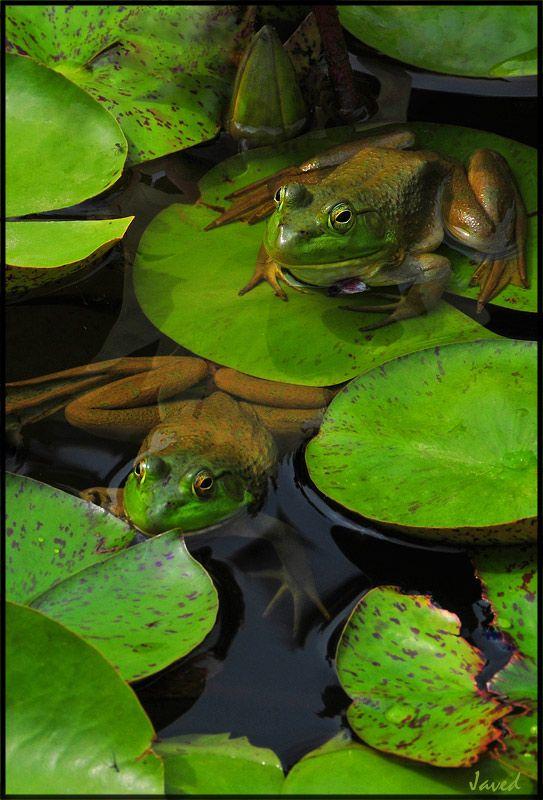 Frogs on Lilly pads - is een mooie foto en kan handig zijn als ik mijn kikkermodellen ga tekenen :-) ik zoek geschikte foto's van kikkers voor hoeden.