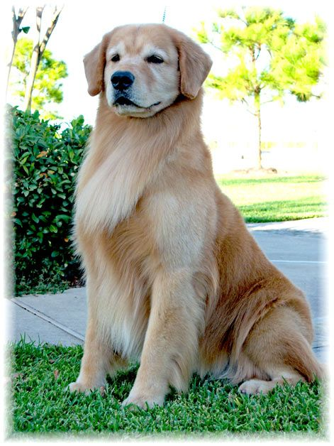 CH Xcelerate Dangerously Hollywood Golden Retriever