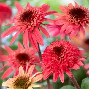 Echinacea Raspberry Truffle, another picture: Perennials Plants, Truffles Echinacea, Raspberries Truffles, Daisies, Gardens, Flower, Plants Nouveau, Echinacea Raspberries, Echinacea Purpurea